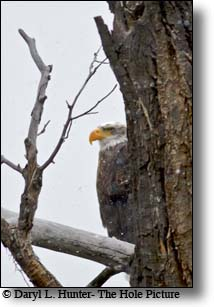 Bald eagle, perched above yellowstone river