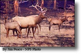 elk herd grazing in burned yellowstone forest