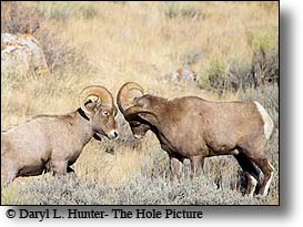 Fighting Bighorn Rams, butting heads