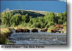 Bison crossing the Gros Ventre River in Grand Teton National Park