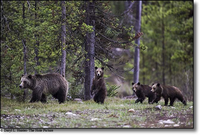 Blondie the Grizzly Bear and her three cubs