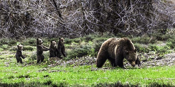Grizzly 399 and four cubs