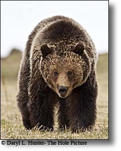 Greater Yellowstone Grizzly Bear