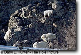 Mountain goats, cliff, alpine wyoming, snake river range,