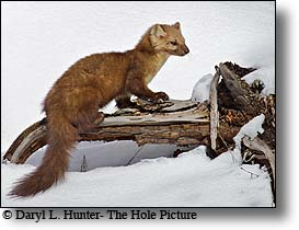 Pine Marten, Yellowstone National Park, winter