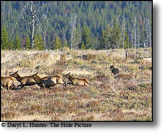 Elk chasing wolves, yellowstone wolves, Yellowstone National Park
