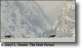 Two Wolves, Grand Tetons, death canyon, Grand Teton national park, wyoming, Jackson Hole