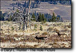cow elk chasing wolves