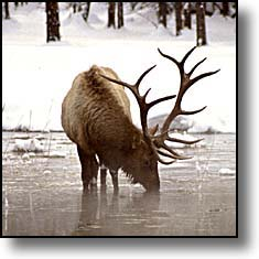 A nice Greater Yellowstone Bull Elk