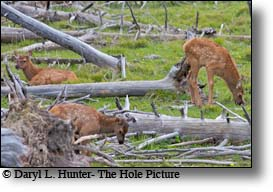 Elk calves enjoying a lazy summer day in yellowstone national park