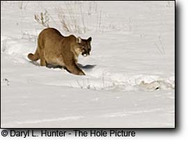 Mountain Lion, Yellowstone Region