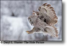Flying great grey owl, coming in for a linding, Jackson Hole, Wyoming